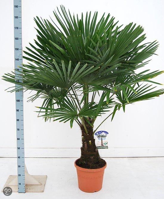 palmbomen tuin en balkonplant trachycarpus fortunei doorsnede pot 35cm hoogte 150. Black Bedroom Furniture Sets. Home Design Ideas