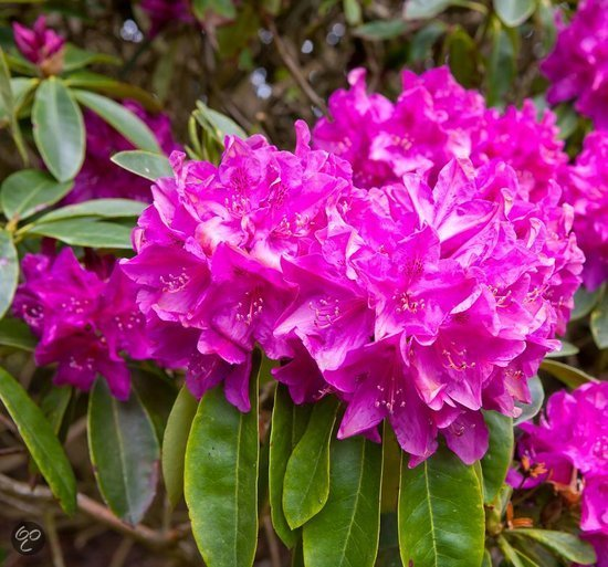 rhododendron roze terras en tuin hoogte. Black Bedroom Furniture Sets. Home Design Ideas
