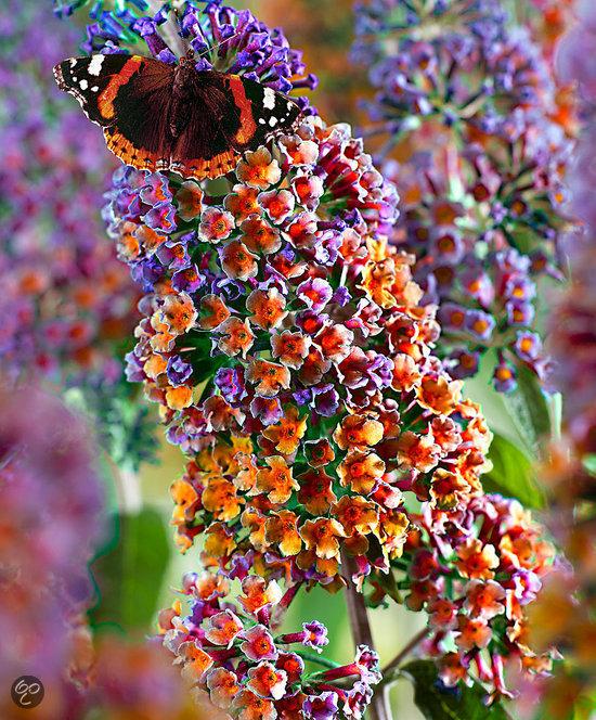 bol.com : Meerkleurige vlinderstruik : Tuin