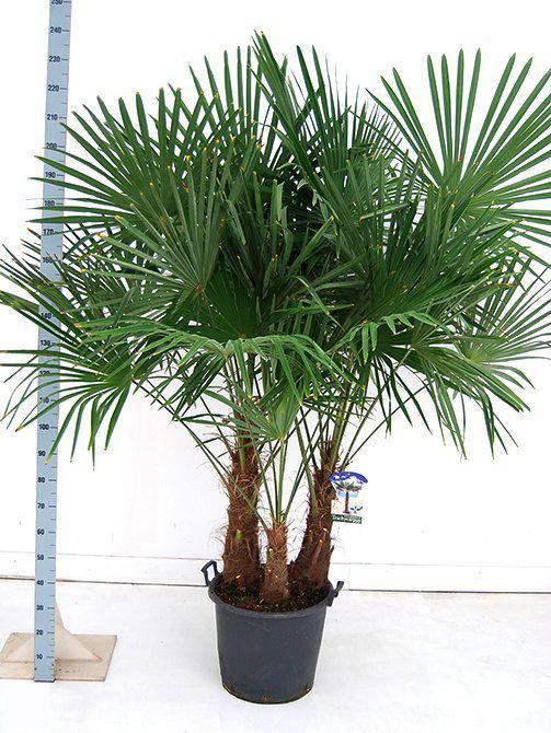 palmbomen tuin en balkonplant trachycarpus fortunei doorsnede pot 50cm hoogte 220. Black Bedroom Furniture Sets. Home Design Ideas