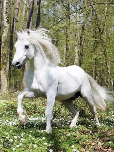 Connemara Paard