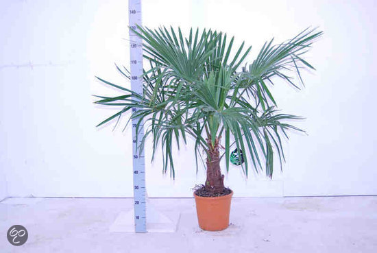 palmbomen tuin en balkonplant trachycarpus fortunei doorsnede pot 27cm hoogte 120. Black Bedroom Furniture Sets. Home Design Ideas