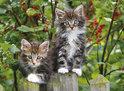 Ravensburger Puzzel - Katjes op de Loer