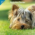 Over Dieren Kalender Yorkshire Terrier Traditional