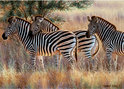 Ravensburger Puzzel - Beautiful Zebras