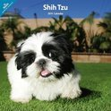 Over Dieren Kalender Shih Tzu Traditional