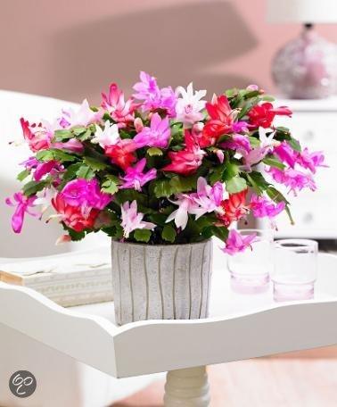 bakker kamerplanten lidcactus mix tricolor. Black Bedroom Furniture Sets. Home Design Ideas