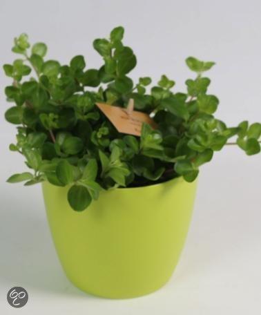 bol | bakker kamerplanten peperplantje met ronde blaadjes, Deco ideeën