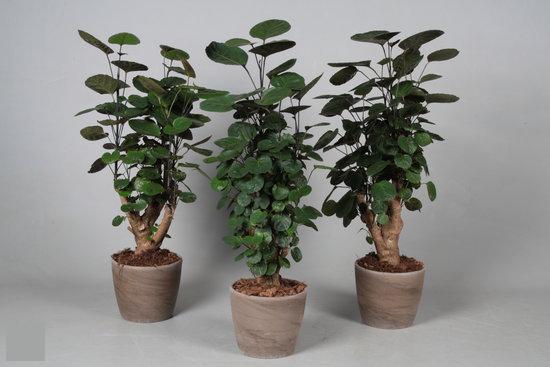 Plant in sierpot kamerplanten polyscias for Grote kamerplanten