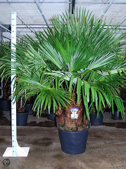 palmbomen tuin en balkonplant trachycarpus fortunei doorsnede pot 60cm hoogte 250. Black Bedroom Furniture Sets. Home Design Ideas