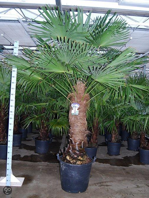 palmbomen tuin en balkonplant trachycarpus fortunei doorsnede pot 60cm hoogte 280. Black Bedroom Furniture Sets. Home Design Ideas