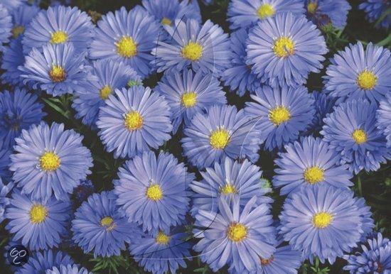 Bol Com Herfstaster Aster Novi Belgii Lady In Blue