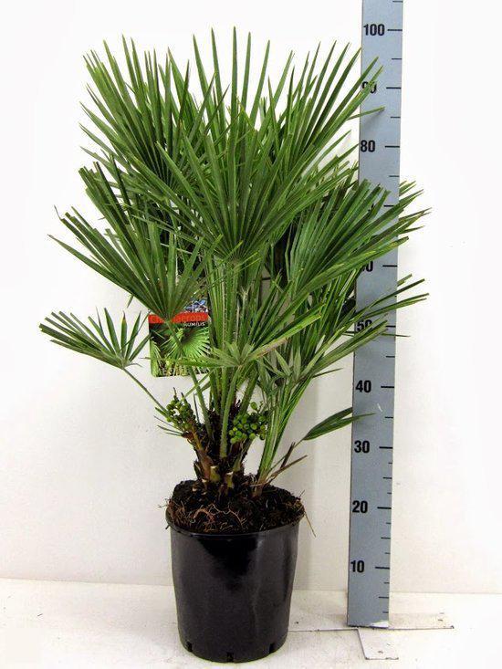winterharde palmboom chamaerops humilis palmboom hoogte 90cm pot 24cm. Black Bedroom Furniture Sets. Home Design Ideas