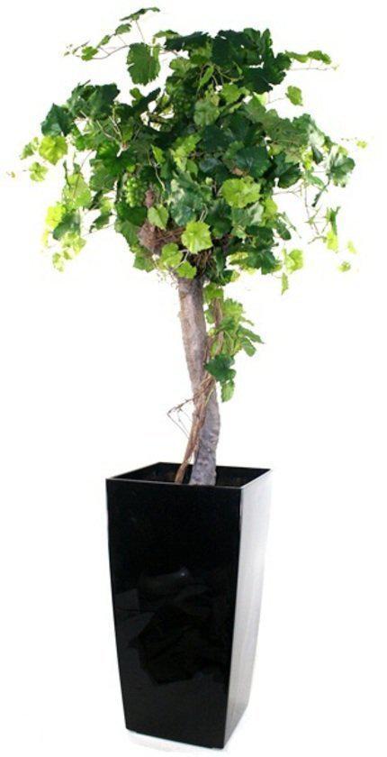 Druivenboom