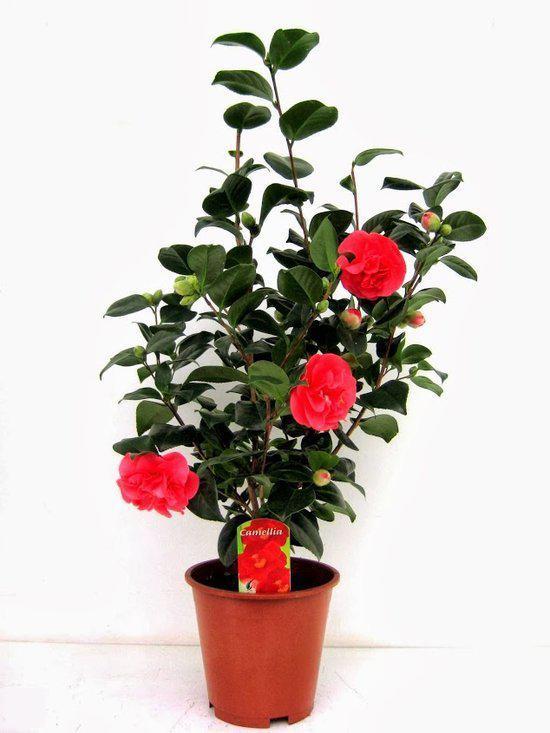 bol japanse rozen tuin en balkonplant japanse roos camellia japonica hoogte 75cm po