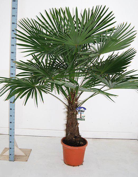 palmbomen tuin en balkonplant trachycarpus fortunei doorsnede pot 40cm hoogte 200. Black Bedroom Furniture Sets. Home Design Ideas