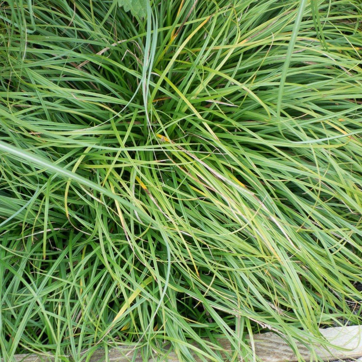 6 x Carex Caryophyllea 'The Beatles'  -  Zegge -  pot 9 x 9 cm kopen