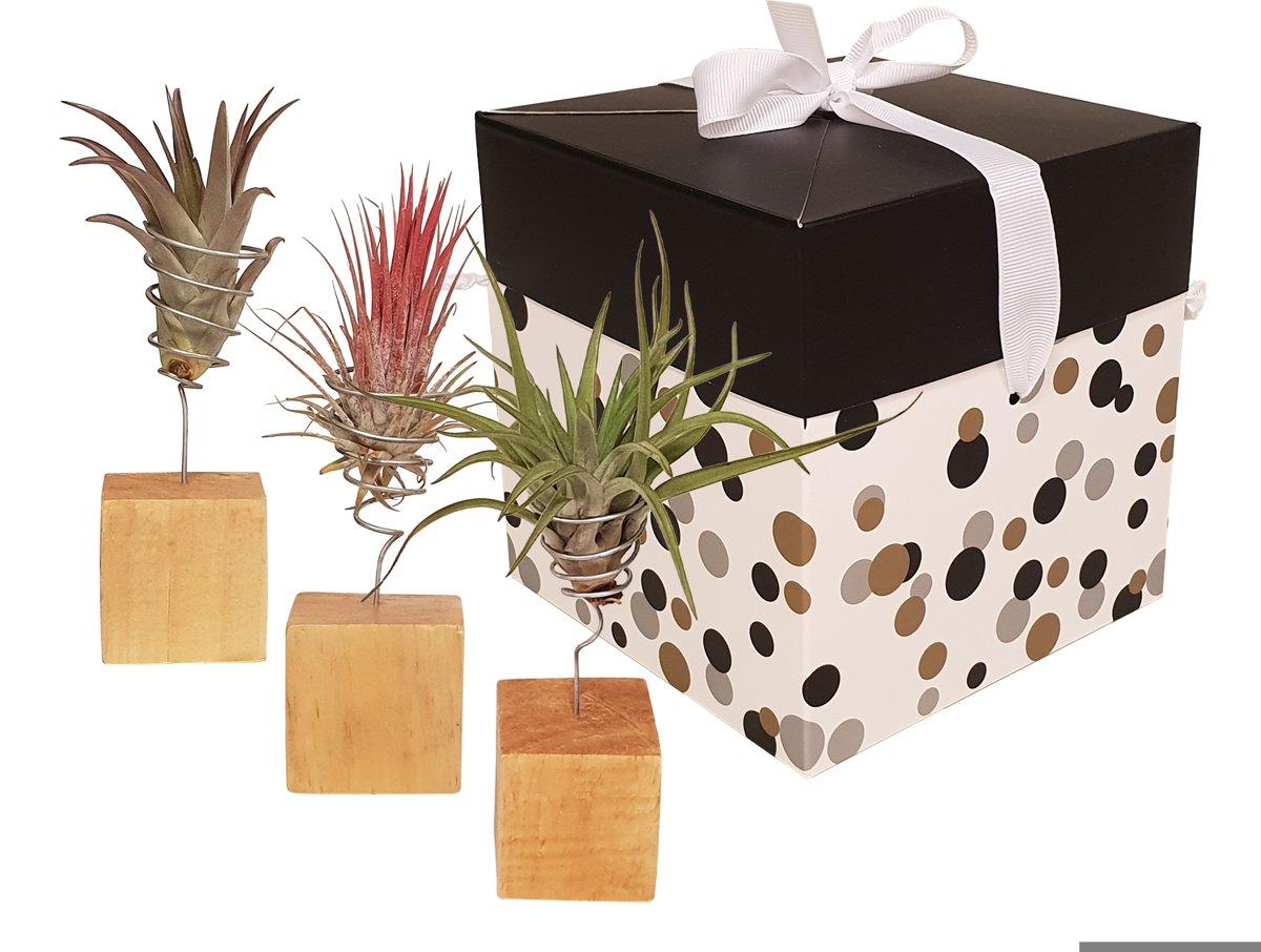 Cactus van Botanicly - Love is in the air 4 - Hoogte: 20 cm - Tillandsia