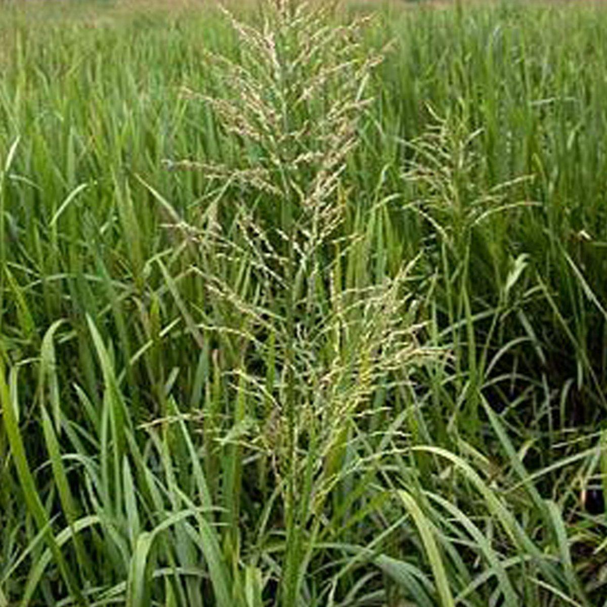 6 x Glyceria Maxima - Liesgras pot 9x9cm kopen
