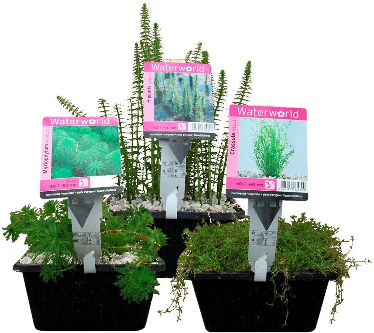 Waterworld Waterzuiverende Zuurstofplanten Pakket - Ca. 2m³ Water - 12 Waterplanten + 3 Oppot Sets (Vijvermandje, Klei, Grind & Voeding) kopen
