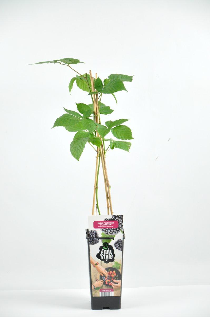 Rubus frut. 'Black Satin' (Doornloze Braam)