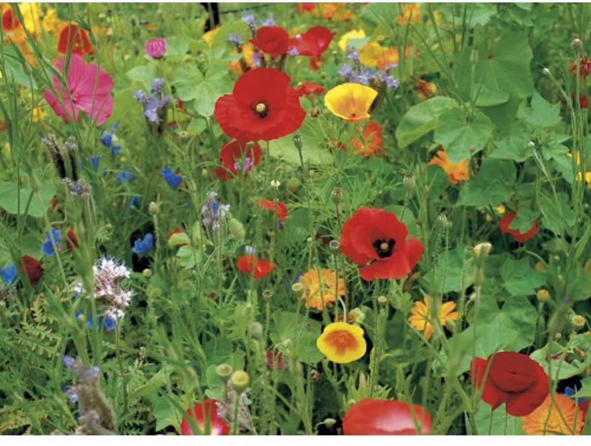 Veldbloemen Wildbloemen meerjarig 50 gram kopen