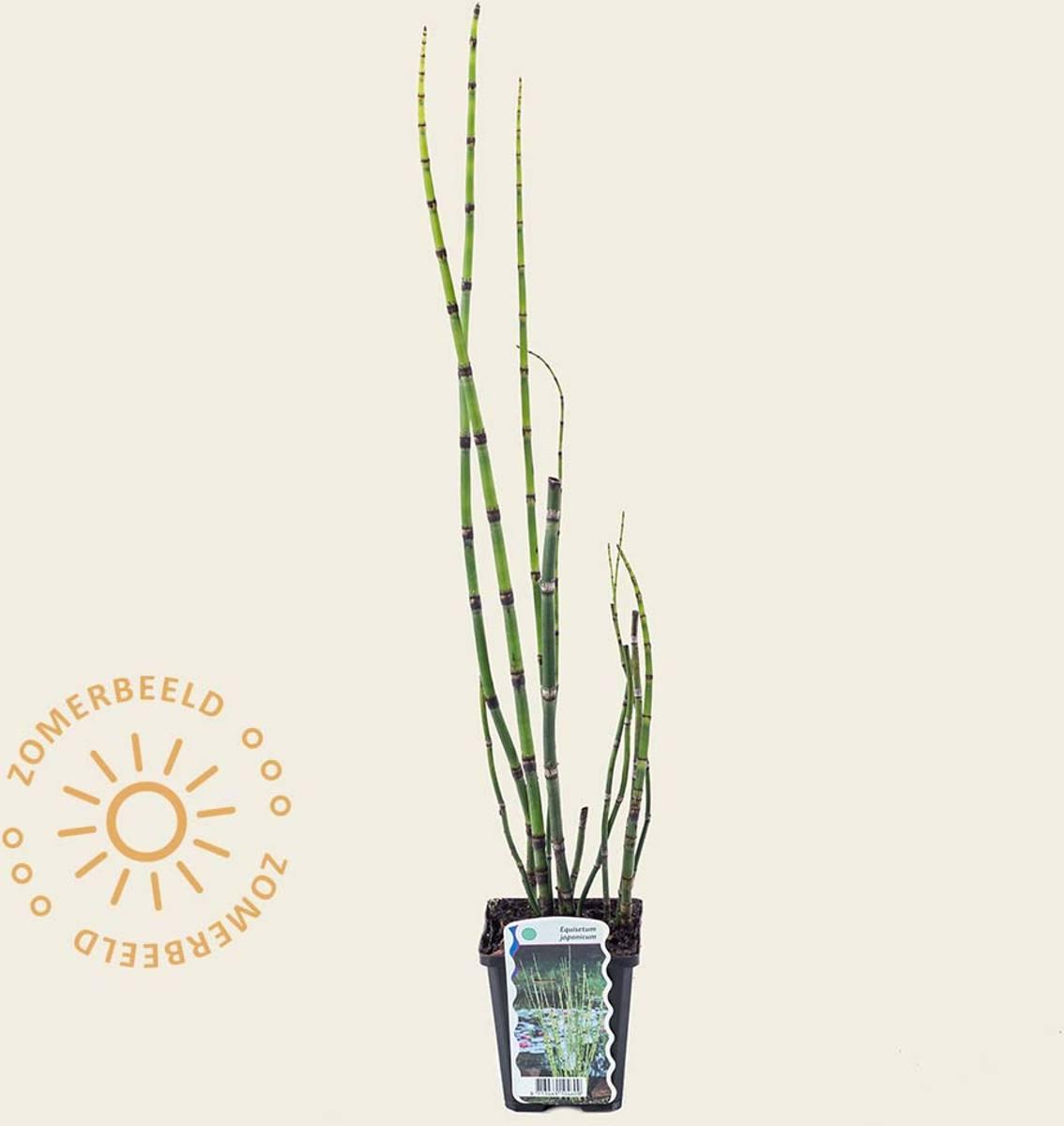 Equisetum japonicum kopen