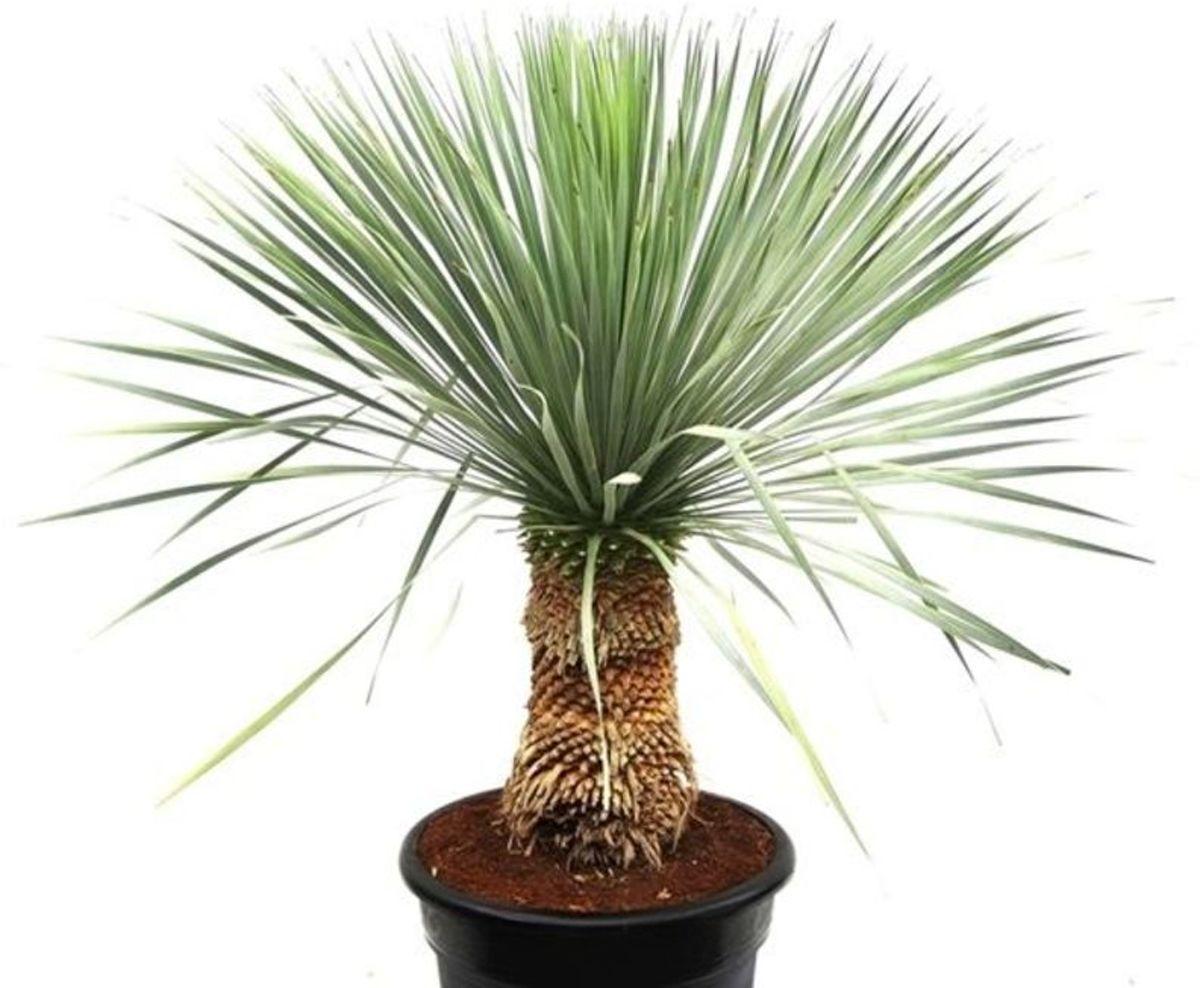 Yucca rostrata - Palmlelie Stam kopen