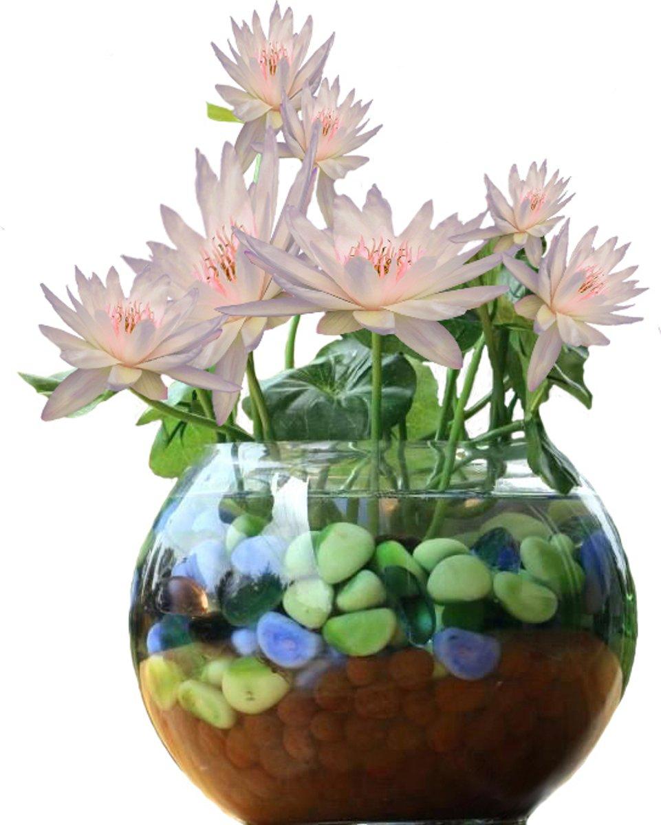 Witte Lotus Set DIY. Leuk Cadeau Moederdag Verjaardag kantoor Plant