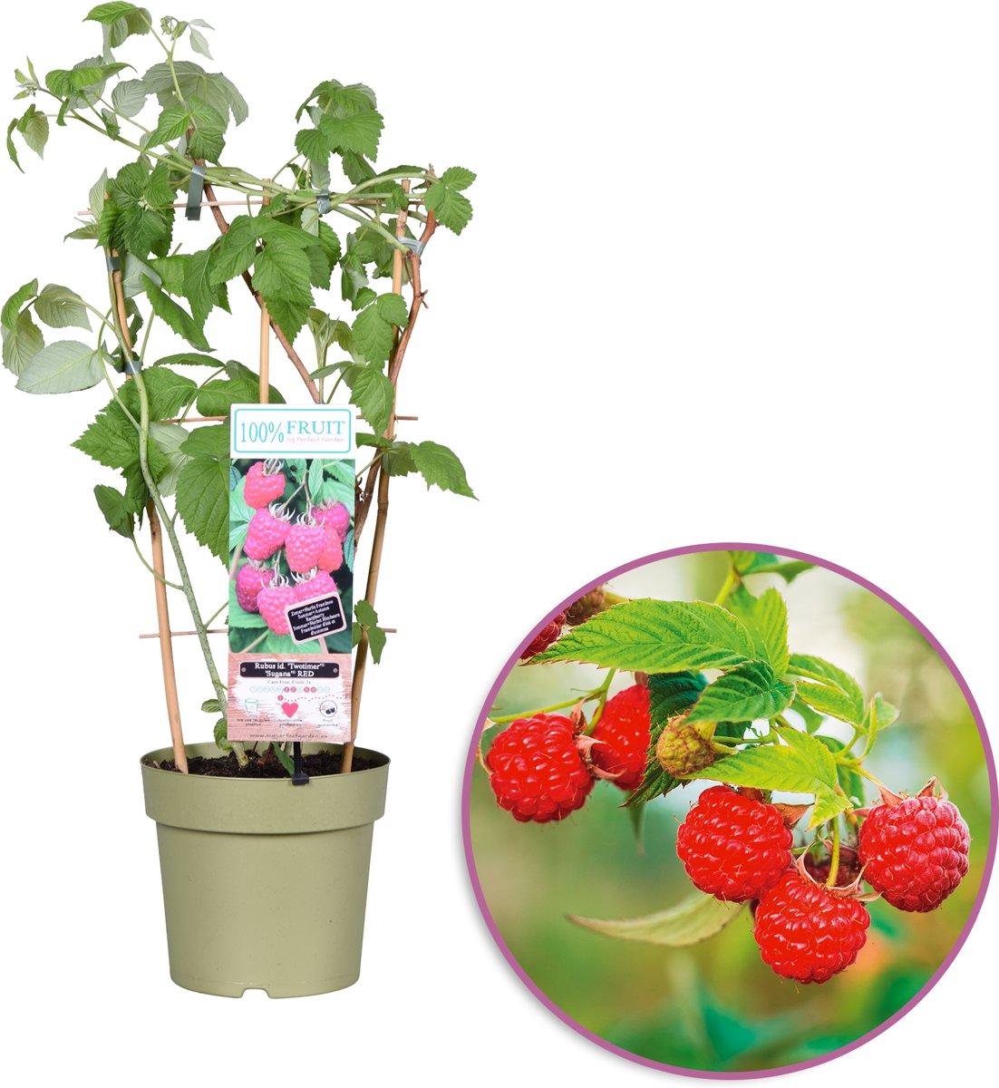 100% Fruit From Boskoop -Framboos - Rubus idaeus 'Two Timer' - zelfbestuivend, winterhard - tuinplant in kwekers pot ø 21 cm - hoogte 60-70 cm - op re