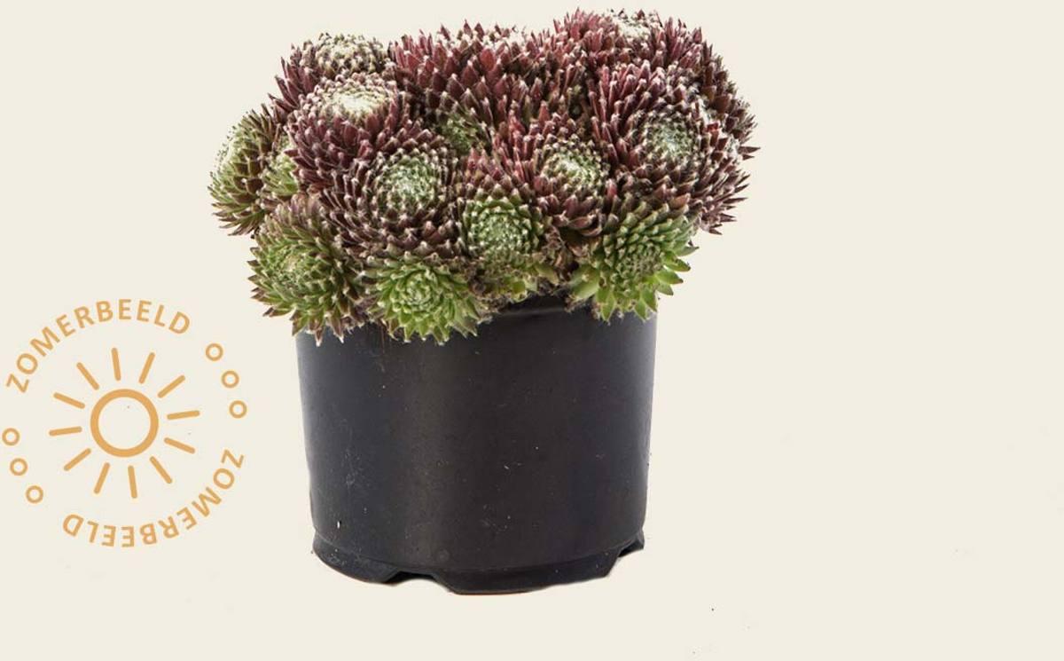 Sempervivum - rotsplant