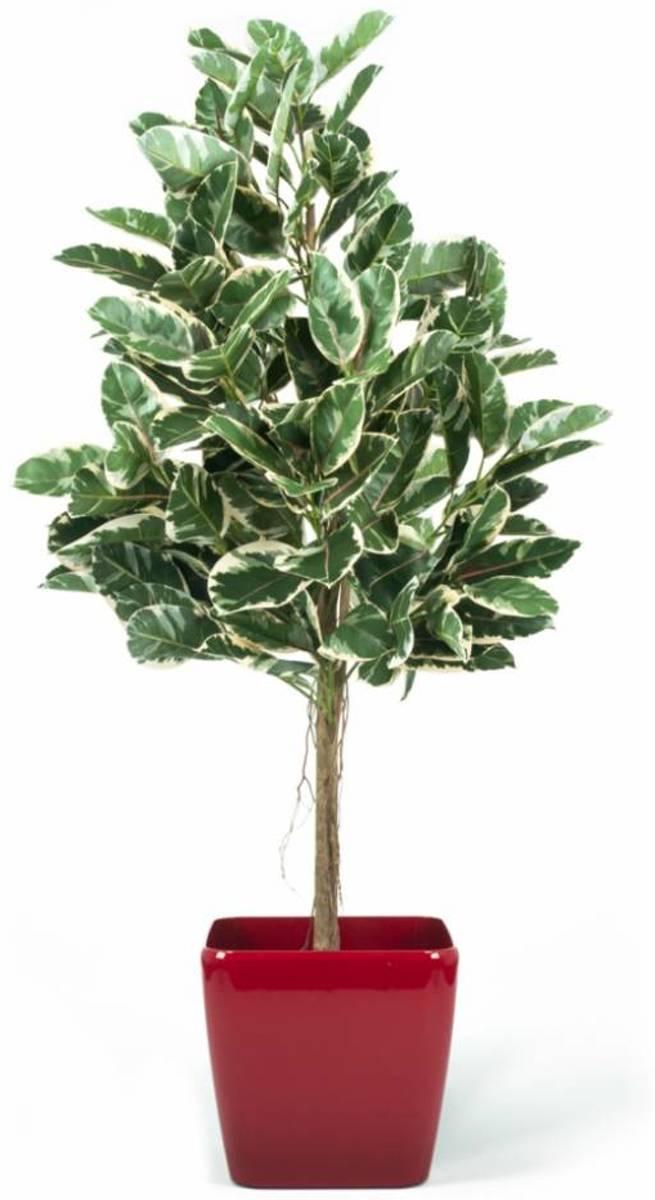 Kunstplant Rubber Plant Bont 1.50m kopen