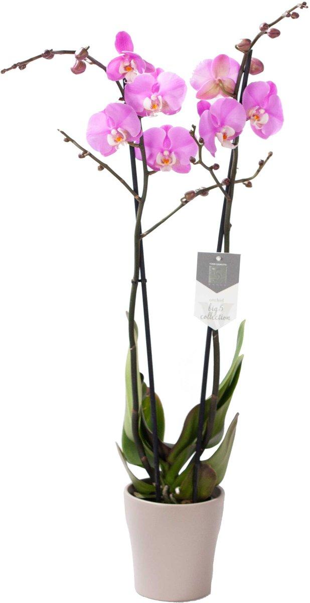 Orchidee van Botanicly - Vlinder orchidee incl. taupe sierpot als set - Hoogte: 60 cm, 2 takken - Phalaenopsis