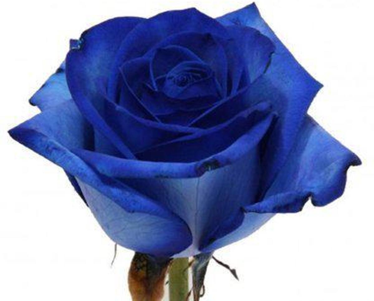 Blauwe Roos kopen