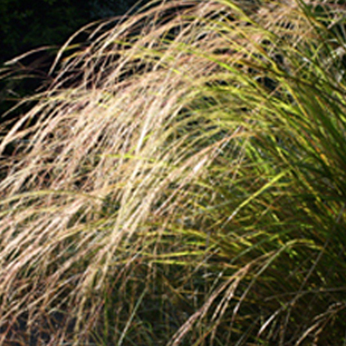 6 x Calamagrostis Arundinacea (= Stipa Arund.)  -  Struisriet -  pot 9 x 9 cm kopen