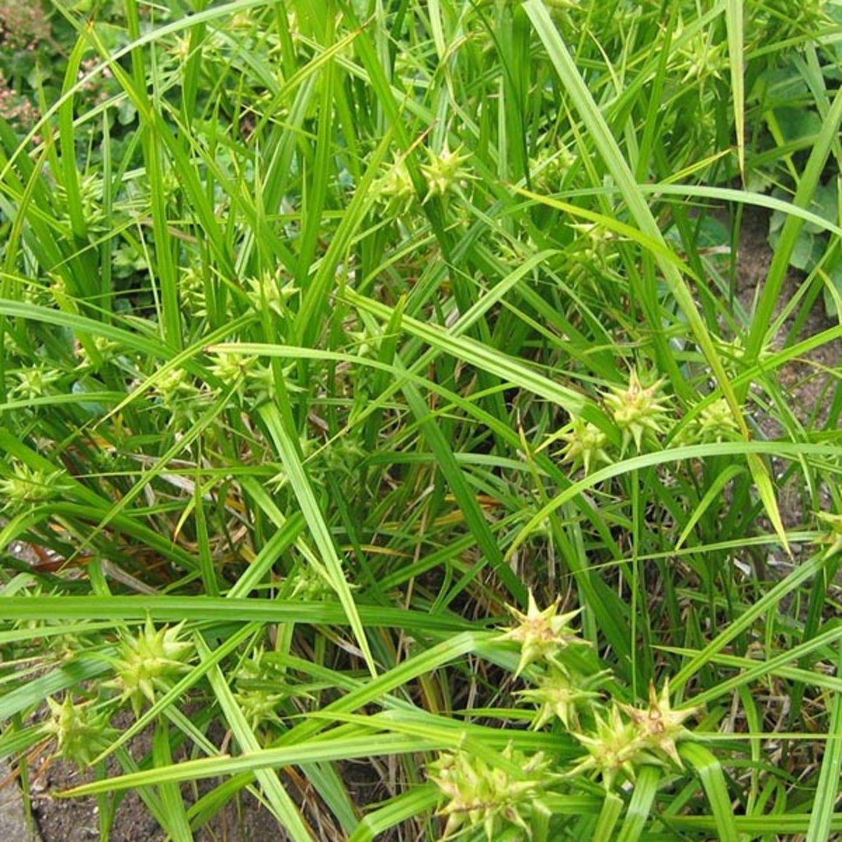 6 x Carex Grayi  -  Morgensterzegge -  pot 9 x 9 cm kopen
