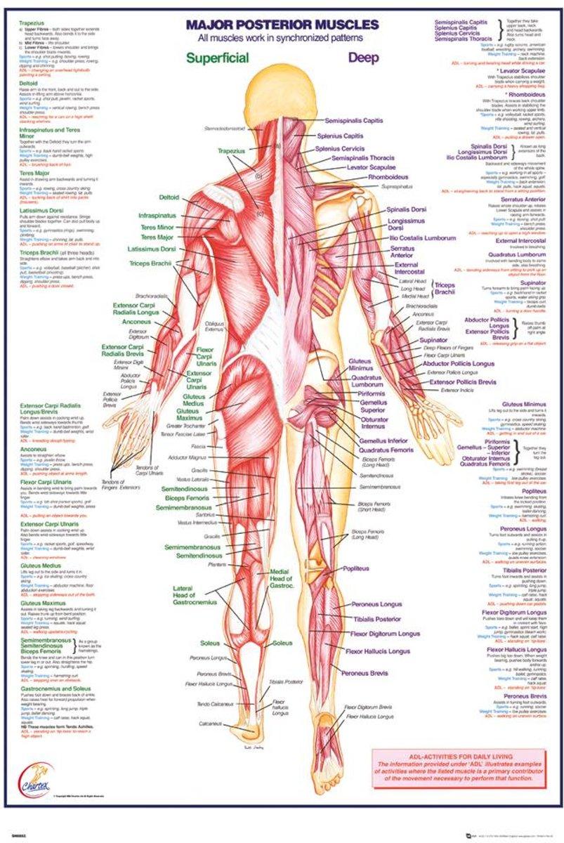 bol.com | REINDERS Menselijk lichaam - spieren achter - Poster ...