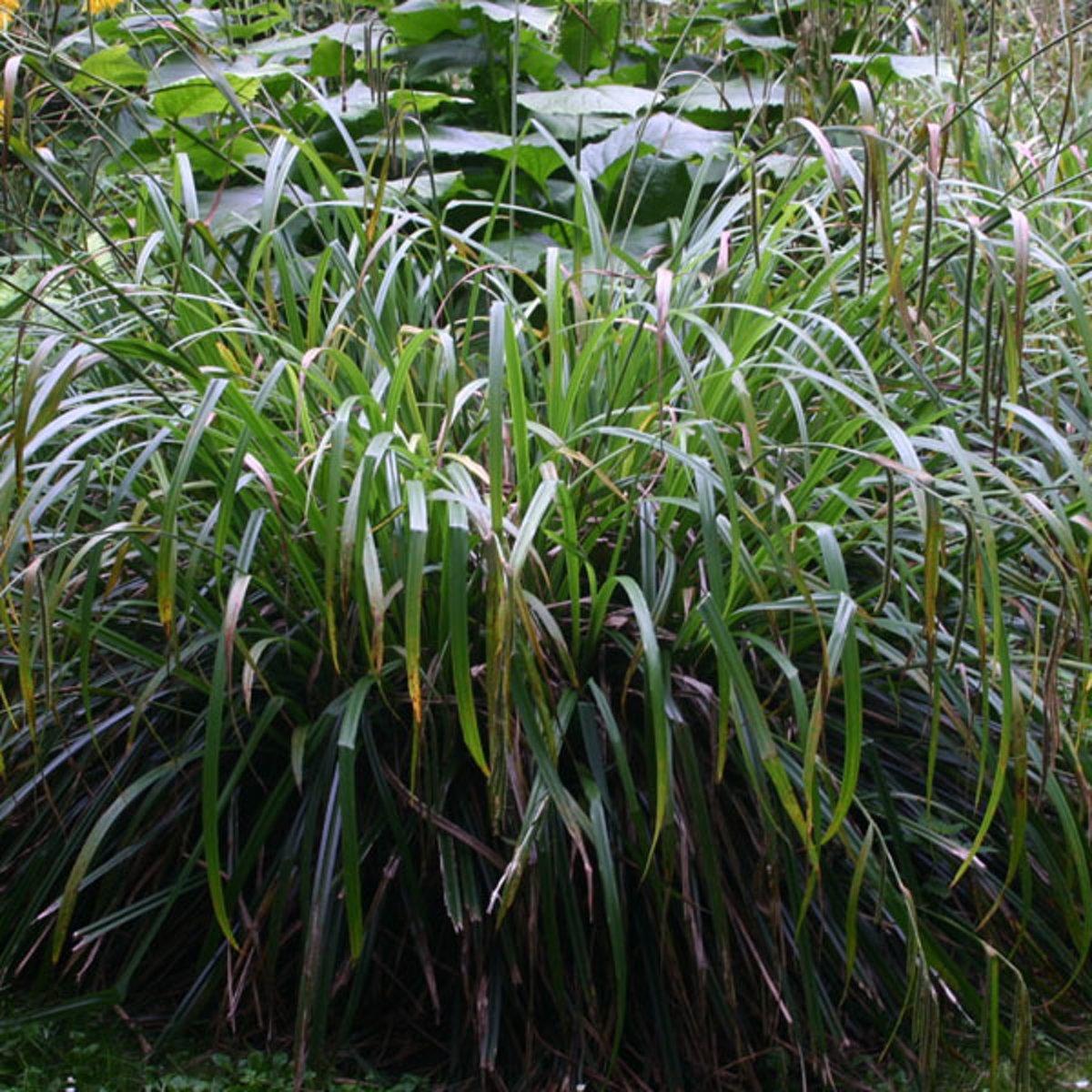 6 x Carex Pendula   -  Hangende zegge -  pot 9 x 9 cm kopen