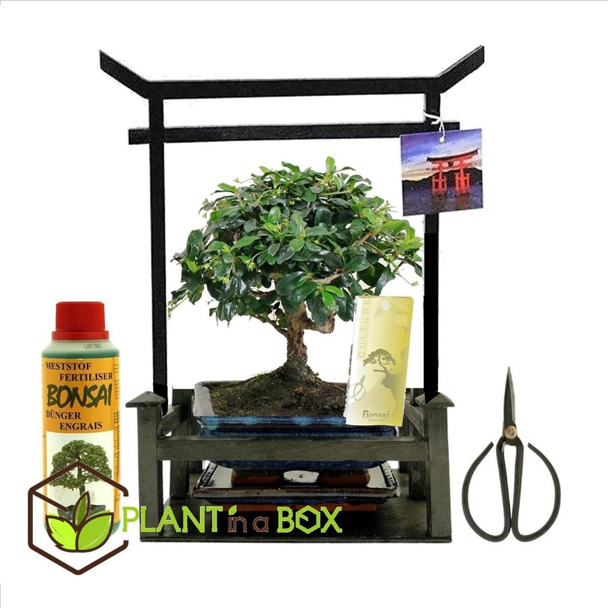 PLANT IN A BOX Bonsai in Torii - Starterkit - Inclusief voeding en bonsai schaartje - Hoogte ↕ 30 - 40 cm