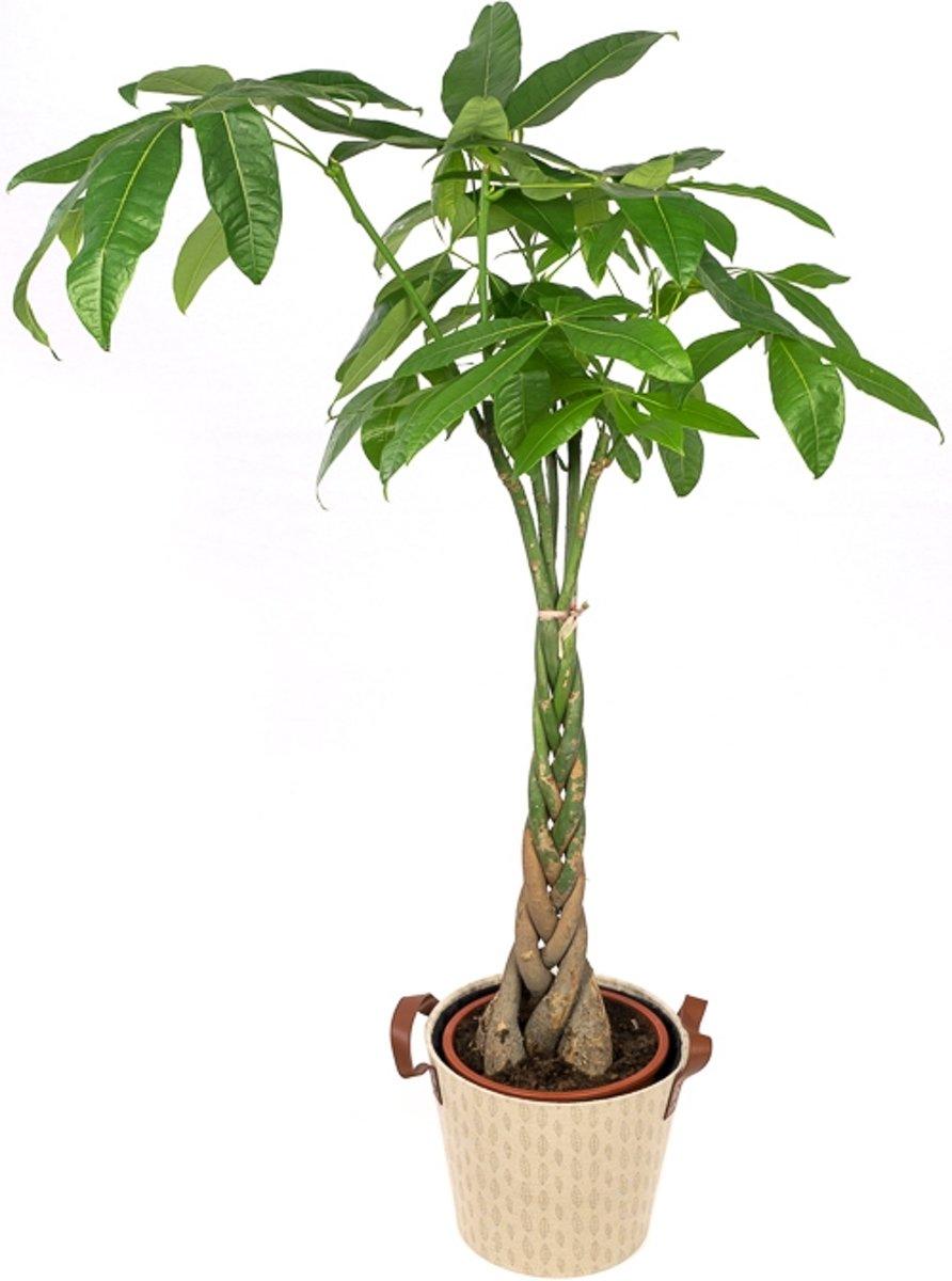 Pachira Aquatica 130 in pot