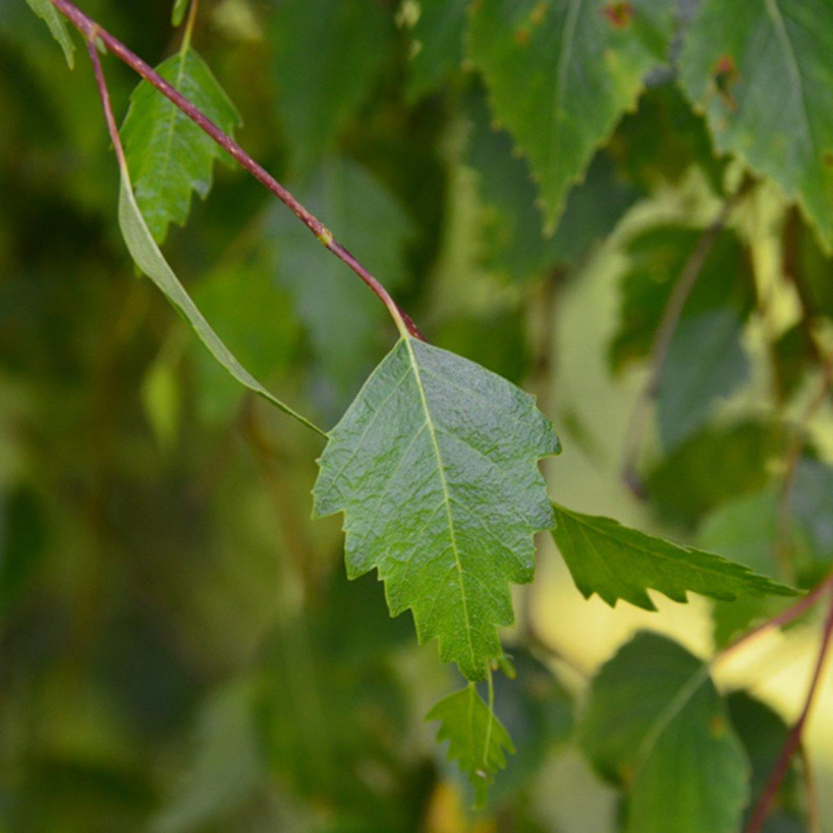 Betula Pendula 'Youngii' - Prieelberk - 175-200 cm pot kopen