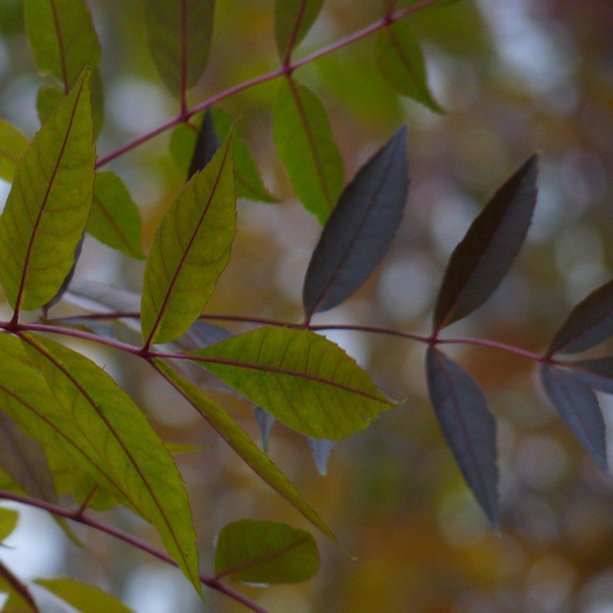 Fraxinus Angustifolia 'Raywood' - Es - Hoogte 350 cm kopen