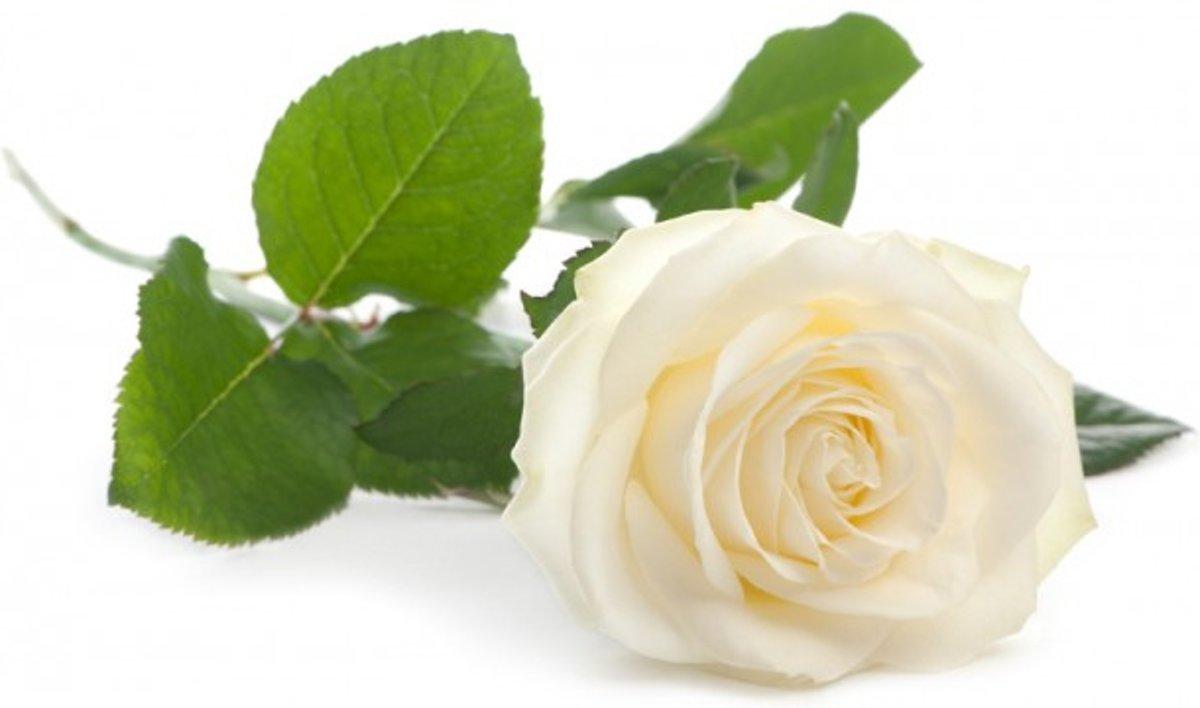 Witte roos kopen