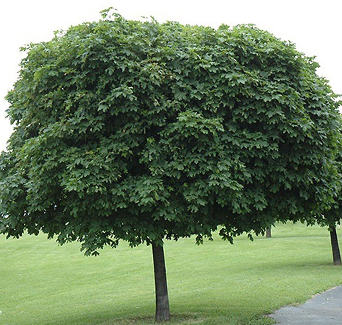 Acer Platanoides 'Globosum' - Esdoorn - 275 cm pot kopen