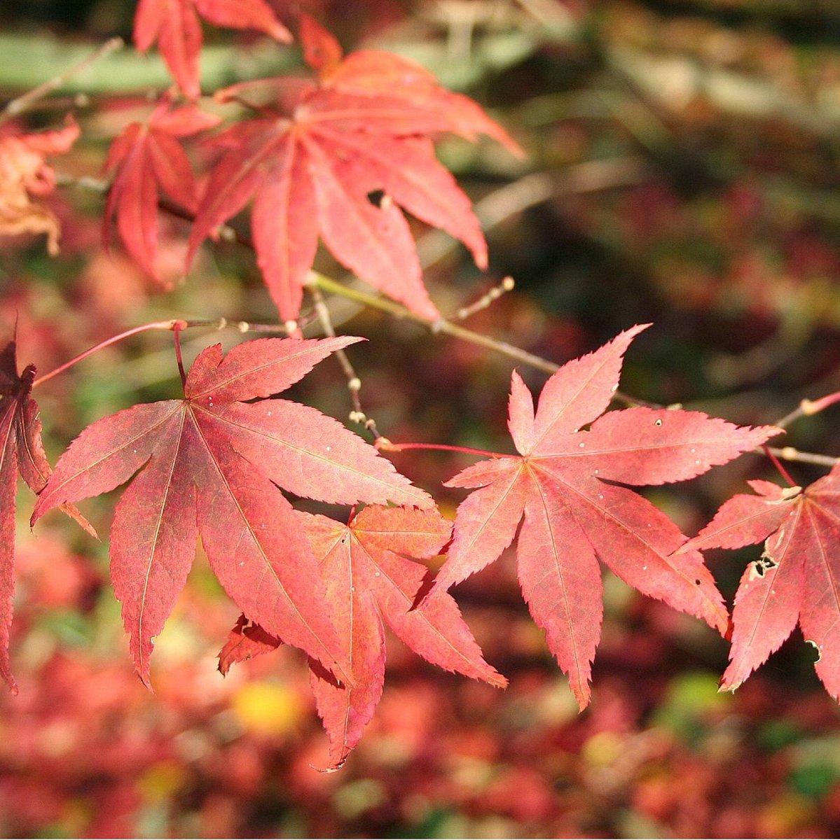 Acer Palmatum 'Atropurpureum' - Rode Japanse esdoorn  50-60 cm pot kopen