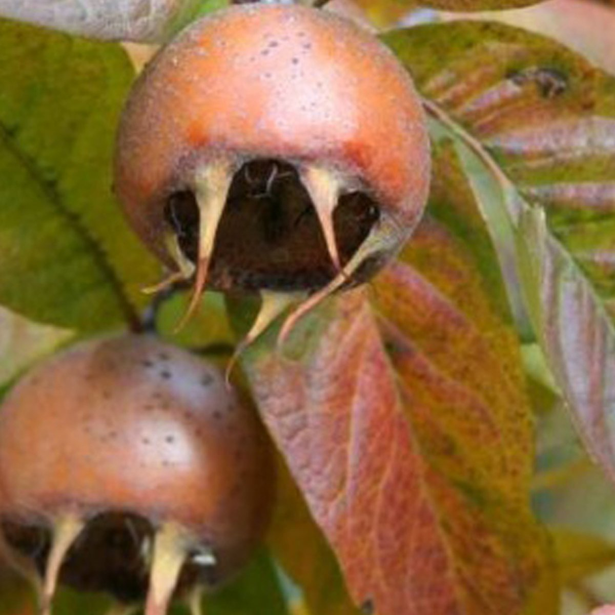 Mespilus Germanica - Mispel Struik in pot kopen