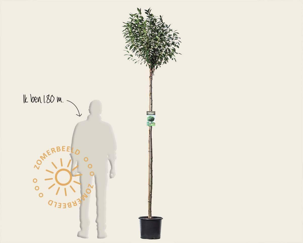 Prunus eminens 'Umbraculifera' - 180 cm stam kopen