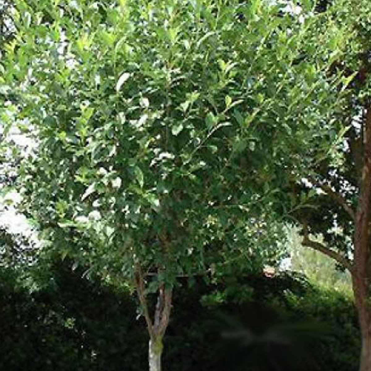 Prunus Eminens 'Umbraculifera' - Bolprunus - Hoogte 275 cm pot kopen