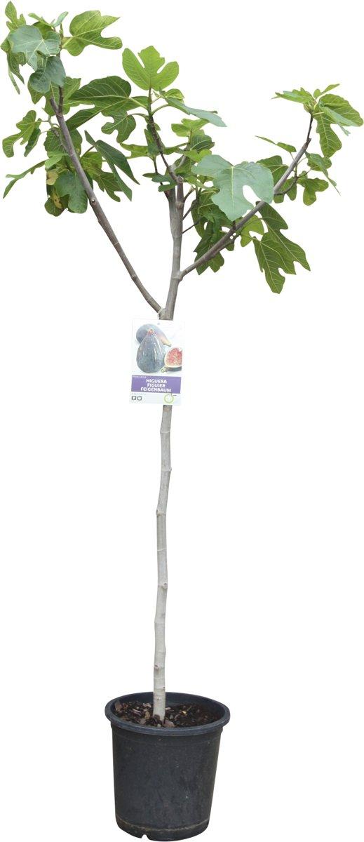 Vijgenboom, ficus carica, donkere vijg, 170cm kopen