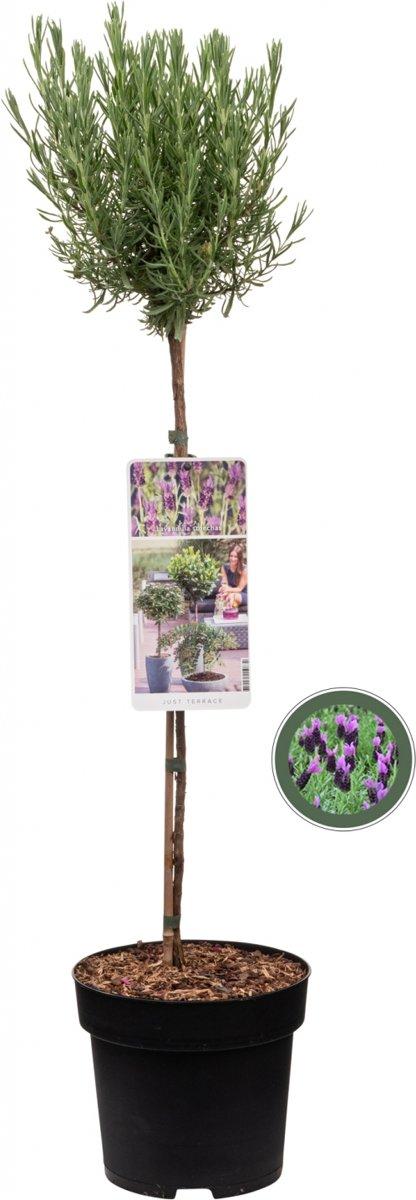 Kuiflavendel op stam - Lavendel Stoechas - 85cm kopen